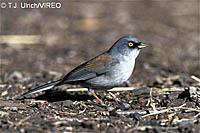 Yellow-eyed_Junco