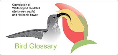 glossary or bird terms