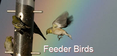 common birds that use feeders
