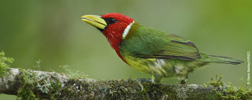 Red-headed Barbet © Glenn Bartley/VIREO